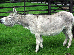Nid the Donkey