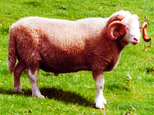White Faced Woodland Sheep