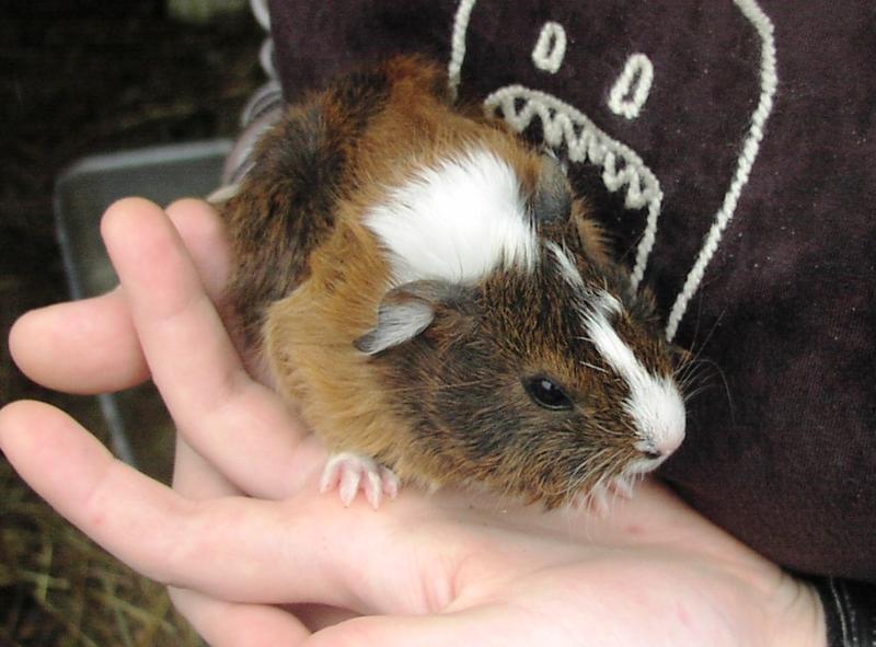 Guinea Pigs Animals Meanwood Valley Urban Farm