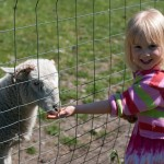 Lamb with little girl